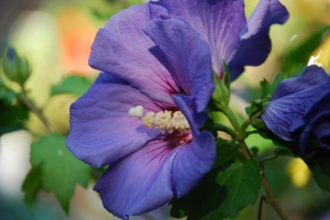 Dark Blue Rose of Sharon
