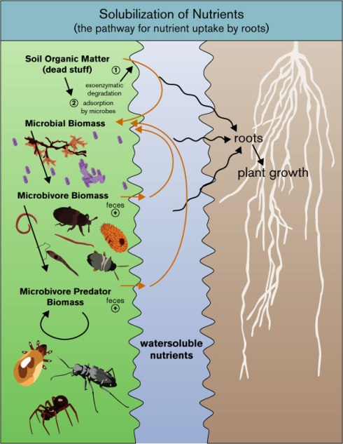 The flow of nutrients. When organic matter is added to soil, microbes are the first players in breaking down the material and releasing nutrients in a plant available form.