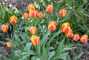 Tulips SE